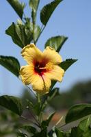 Hibiscus Stock photo [526385] Hibiscus