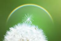 Dandelion seeds and rainbow Stock photo [527561] Dandelion