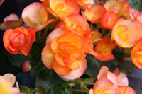 Begonia Stock photo [528173] Orange