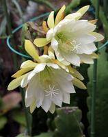 Peacock cactus Stock photo [528921] Peacock