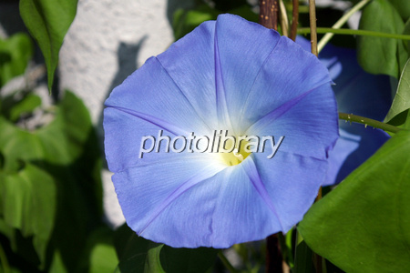 Heavenly Blue Photo