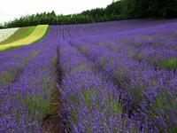 Hill of purple Stock photo [566680] Hokkaido