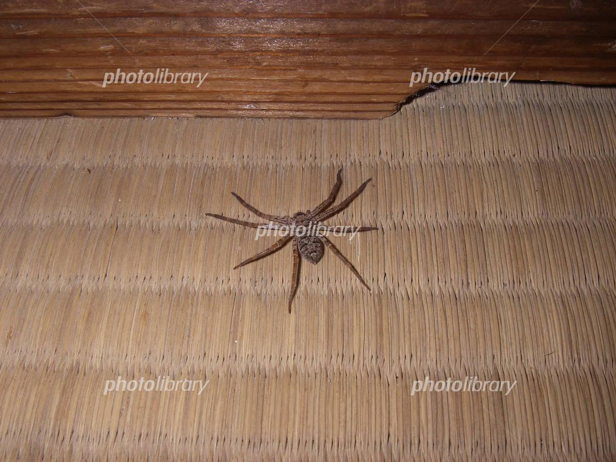 アシダカグモの画像 p1_32