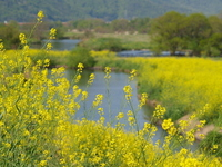 Riverside of rape blossoms Stock photo [630795] Rape