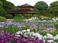 Okayama Korakuen iris of Stock photo [631648] IRIS