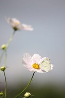 White cosmos and cabbage butterfly Stock photo [635905] Pieris