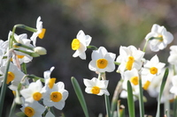 Narcissus Stock photo [717428] Narcissus