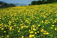 Dandelion Stock photo [717538] Flower
