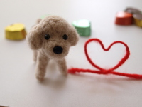 Chocolate and red thread and Toy Poodle Stock photo [718766] Wool