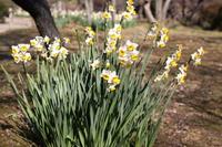 Nihon narcissus Stock photo [719399] Narcissus