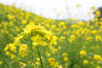 Rape blossoms Stock photo [721358] Rape