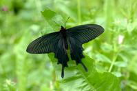 Byasa alcinous Stock photo [722229] Butterfly