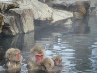 Parents Monkey and 2chiled monkeys bathing Stock photo [723067] APE