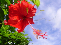 Hibiscus Stock photo [726062] Hibiscus