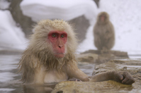 Senior Japanese macaques soak in hot springs Stock photo [727917] APE