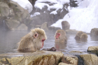 Snow Monkey relax in the hot spring Stock photo [727991] APE