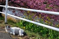 猫と河津桜