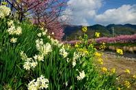 河津桜と水仙