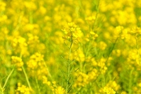 Rape blossoms Stock photo [732835] Rape