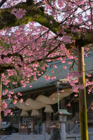 Spring Miyajidake Shrine Stock photo [733972] Campanulata