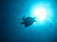 アオウミガメ の写真素材