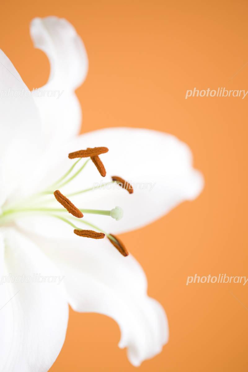 Casablanca flowers Photo