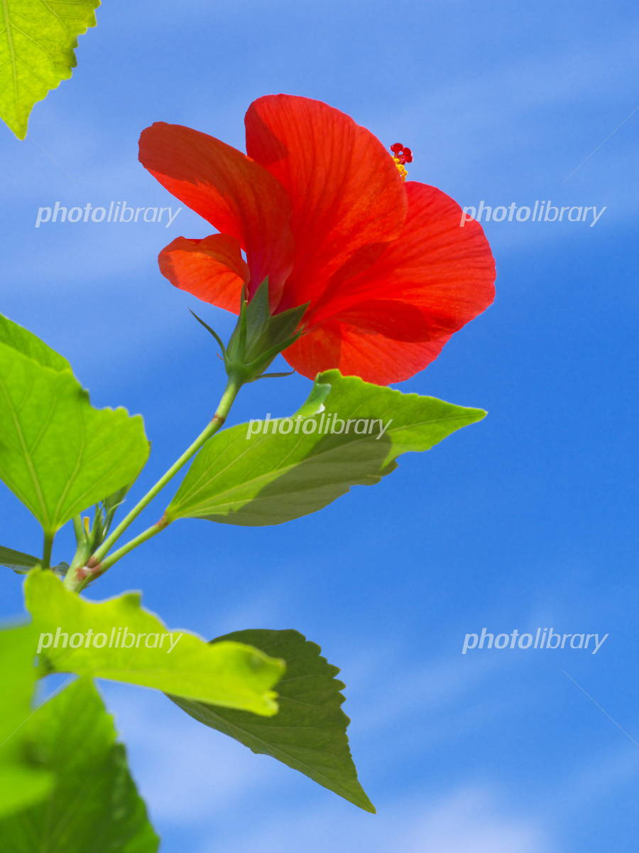 Blue sky and hibiscus Photo