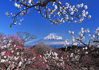 Plum and Mount Fuji Stock photo [955510] Plum