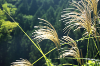 Japanese pampas grass Stock photo [955954] Japanese