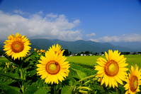 Sunflower bloom Azumino Stock photo [956249] Summer