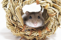 Hello from Djungarian hamster burrows Stock photo [957562] Hamster