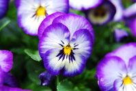 Pansy Stock photo [957835] Pansy