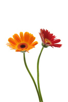 Orange and red gerbera Stock photo [959494] Gerbera