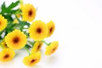 Chrysanthemum paludosum Stock photo [959691] Chrysanthemum