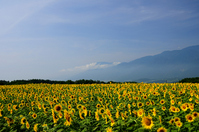 Sunflower flower garden and the Southern Alps Stock photo [962442] Flower