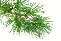 Pine Stock photo [964869] Pine