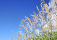Japanese pampas grass and blue sky Stock photo [965736] Japanese
