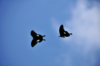 Black swallowtail butterfly of Okinoshima, Munakata Seaside Park Stock photo [966988] Spangle