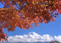 Lake Tanuki of autumn leaves and Mount Fuji Stock photo [967836] Mt.