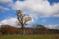 Giant of Japanese oak Stock photo [1077600] Giant