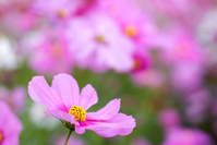 Pink cosmos flowers Stock photo [1082406] Autumn