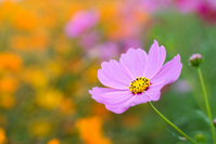 Pink cosmos flowers Stock photo [1082416] Autumn