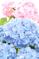 Pastel color of hydrangea Stock photo [1180736] Hydrangea