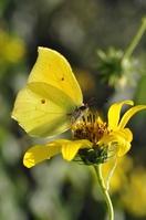 Gonepteryx Stock photo [1181980] Butterfly