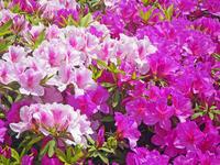 Azalea Stock photo [1186143] Azalea