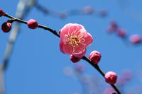 Plum blossom Stock photo [1187697] Plum