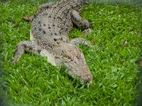 Australia crocodile Stock photo [1188139] Crocodile