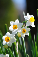 Narcissus Stock photo [1189984] Narcissus