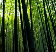 Bamboo forest Stock photo [1190642] Sagano