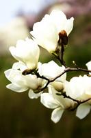 Yulan magnolia Stock photo [1192752] Magnolia